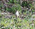 Wren (Troglodytes troglodytes) - geograph.org.uk - 686855.jpg