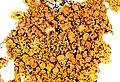 Xanthoria parietina-1.jpg