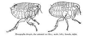 Oriental rat flea - Male and female Xenopsylla cheopis