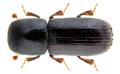 Xyleborus eurygraphus (Ratzeburg, 1837).png