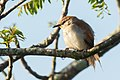 Yellow-chinned spinetail.jpg