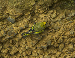 Yellow-crowned Canary - Mt.Kenya S4E7761 (23013953136).jpg