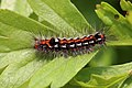 Yellow-tail swan moth (Euproctis similis) caterpillar.jpg