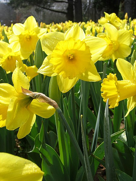 Yellow daffodils - floriade canberra.jpg