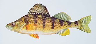Holostei - Image: Yellow perch fish perca flavescens