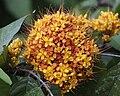 Yellow saraca (Saraca thaipingensis)2.jpg