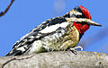 Yellowbelliedsapsucker09.jpg