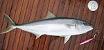 Yellowtail, Brazil.JPG