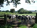 Young bullocks at Pool House Farm - geograph.org.uk - 492554.jpg