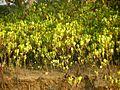 Young mangroves (23768252809).jpg