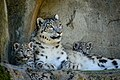 Zürich Zoo Snow Leopards (17112018925).jpg