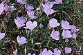 Zakynthos flora (Xigia) (35068849396).jpg