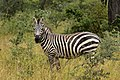 Zebra, Yabello Wildlife Sanctuary (3) (29242122136).jpg