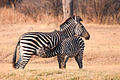 Zebra Mother And Calf.jpg