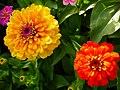 Zinnia Flowers گل آهاری 10.jpg
