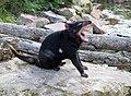 ZooParc de Beauval Sarcophilus harrisii 11082019 05 1199.jpg