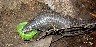 Pangolin - Chinese pangolin