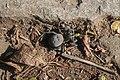 """Velvet Spider"". Family Eresidae, probable Genus and species Gandanameno. Eastern Cape, Southern Africa.jpg"