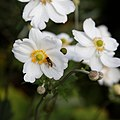 'Anemone hupehensis' Capel Manor Gardens Enfield London England 1.jpg