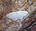 (1875) Small White Wave (Asthena albulata) (35363873340).jpg