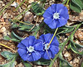 (Evolvulus alsinoides) Dwarf Morning-glory at Bhongir 01.jpg