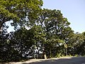 ¿ Litsea species ? (15212534390).jpg
