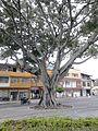 Árbol en el Parque Alameda 01.JPG