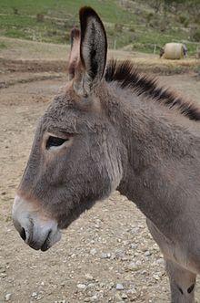 provence donkey wikipedia