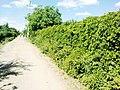 Дикий виноград вместо забора - panoramio.jpg