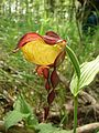 Зозулині черевички. Cypripedium calceolus L.jpg
