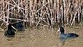 Лысуха - Fulica atra - Eurasian coot - Лиска (Белочела водна кокошка) - Blässhuhn (32286923223).jpg