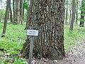 Лісовий дендрарій.Вікова тополя.jpg