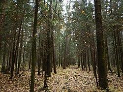 Молодой ельник под осиновым лесом..JPG