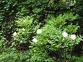 Цветущий древовидный пион Анастасия Сосновец.jpg