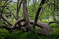 Яблуня-колонія, м.Кролевець, img5.jpg