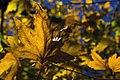 برگ زرد-پاییز-yellow leaves-falling leaves 24.jpg