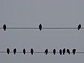 رفتار عجیب سارها بر روی تیرهای برق در اطراف شهر قم، ابتدای فصل زمستان - عکاس. مصطفی معراجی 09.jpg