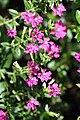 หลิวไต้หวัน Cuphea hyssopifolia Kunth (5).jpg