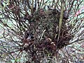 ヤマネの自然巣の一例.jpg