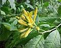 夜香樹屬 Cestrum parqui v oranense -哥本哈根大學植物園 Copenhagen University Botanical Garden- (36234897583).jpg