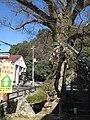 大けやき(木の根橋 ) Great Zelkova tree (Kinone bashi) - panoramio.jpg