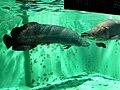 巨骨舌魚 Arapaima gigas - panoramio.jpg