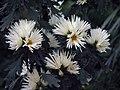 日本嵯峨菊-嵯峨之林 Chrysanthemum morifolium 'Saga' -台北士林官邸 Taipei, Taiwan- (9227097619).jpg