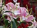 東方百合 Lilium Sorbonne -廣州冠勝農業公園 Guangzhou, China- (45333003971).jpg