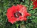 東方罌粟 Papaver orientale 'Flamenco Dancer' -維也納高山植物園 Belvedere Alpine Garden, Vienna- (28838976980).jpg