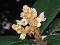 枇杷 Eriobotrya japonica -香港動植物公園 Hong Kong Botanical Garden- (9227120293).jpg