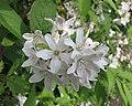 溲疏屬 Deutzia x kalmiiflora -比利時 Leuven Botanical Garden, Belgium- (9226994813).jpg