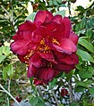華東山茶-重瓣牡丹型 Camellia japonica Double Peony Form -深圳園博園茶花展 Shenzhen Camellia Show, China- (9207629254).jpg