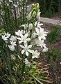 虎眼萬年青屬 Ornithogalum narbonense -哥本哈根大學植物園 Copenhagen University Botanical Garden- (37020798621).jpg