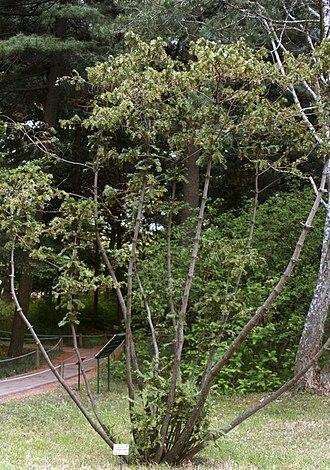 Cephalotaxus koreana - Image: 개비자나무